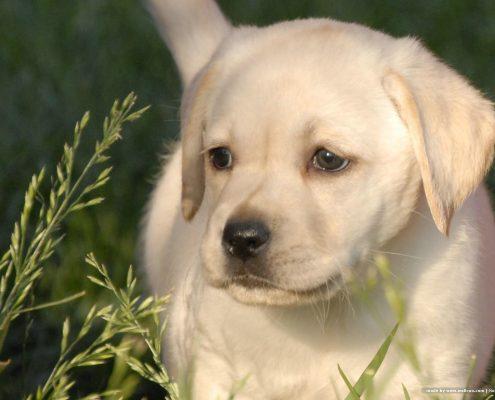 Labrador Retriever Fotoğrafları