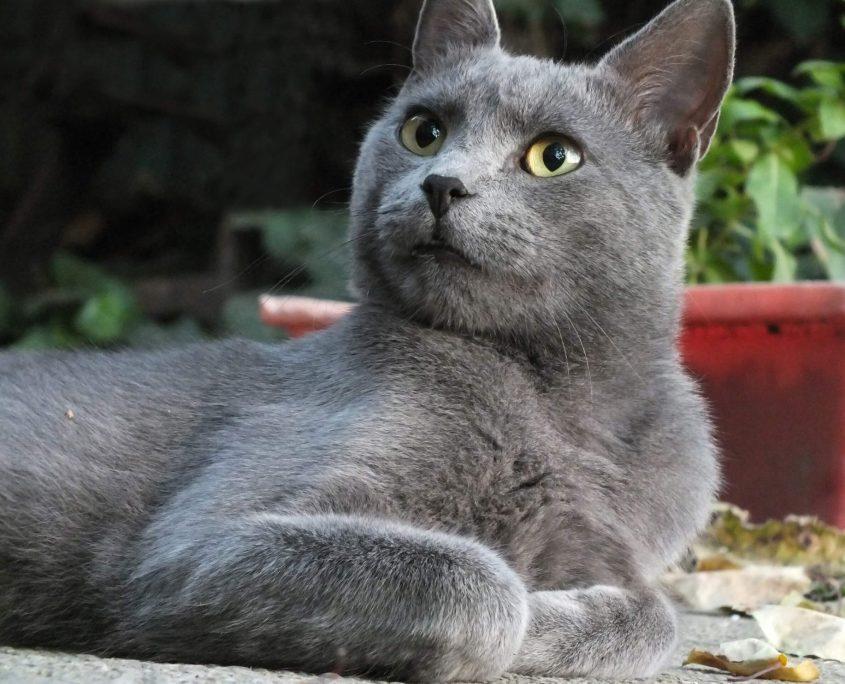 Mavi Rus Kedisi Fotoğrafları