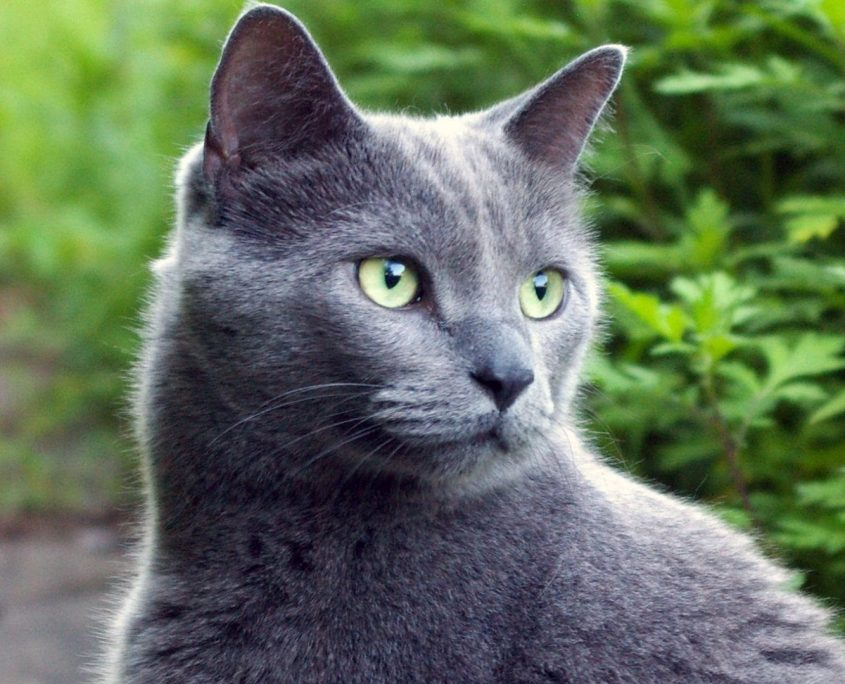 Mavi Rus Kedisi Resimleri