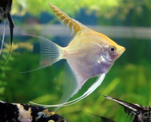 Melek Balığı