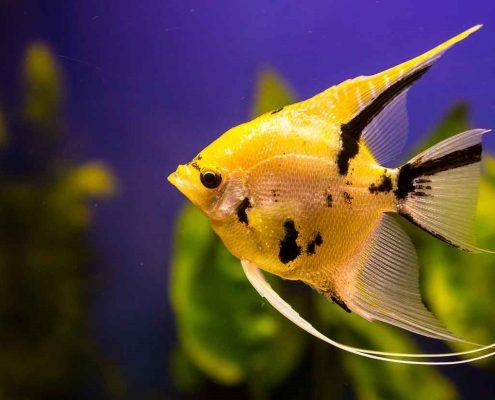 Melek Balığı Resimleri