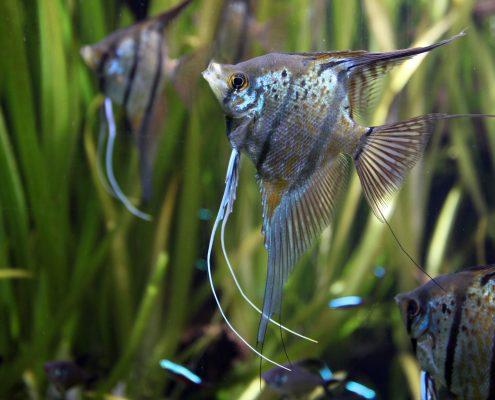Melek Balıkları