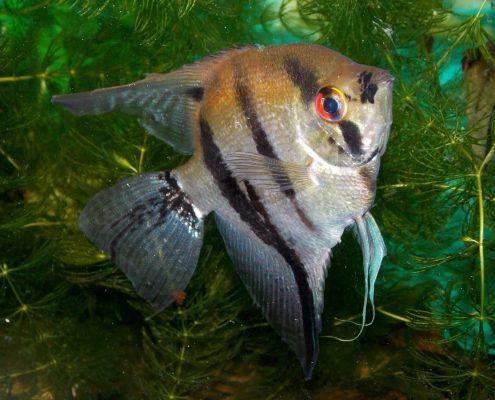Melek Balığı Fotoğrafları