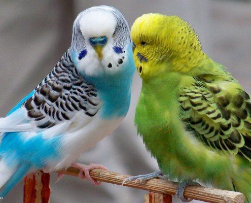 Muhabbet Kuşu Resimleri