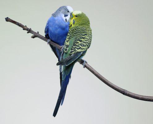 Muhabbet Kuşu Foto