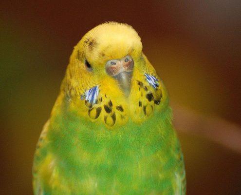 Muhabbet Kuşu Fotoğrafları