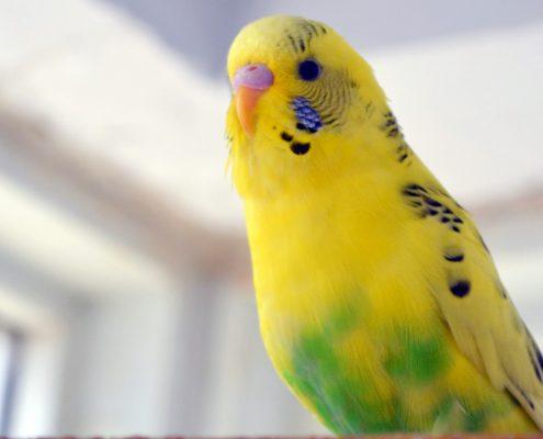 Muhabbet Kuşu