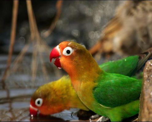 Sevda (Cennet) Papağanı