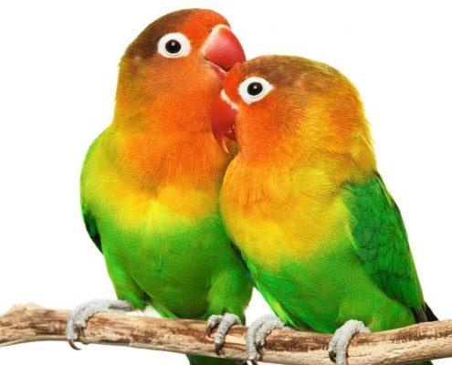 Sevda (Cennet) Papağanı Resimleri
