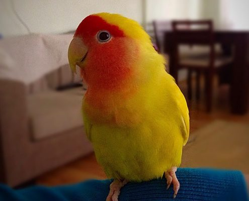 Sevda (Cennet) Papağanı Fotoğrafları