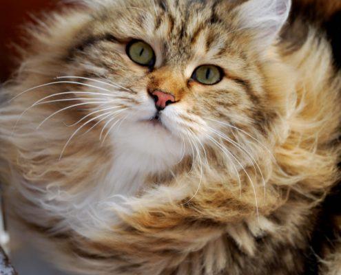 Sibirya Kedisi Resimleri
