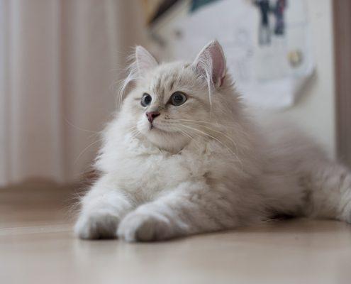 Sibirya Kedisi Fotoğrafları