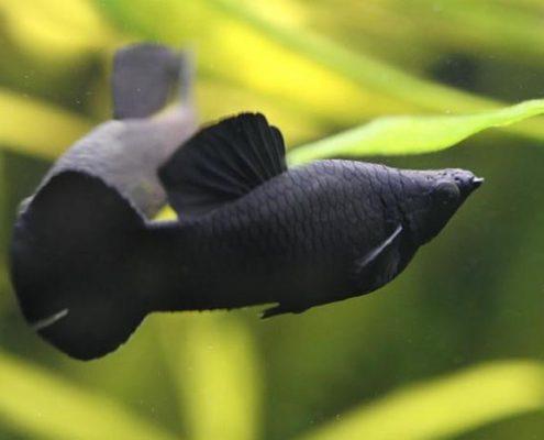 Siyah Moli Fotoğrafları