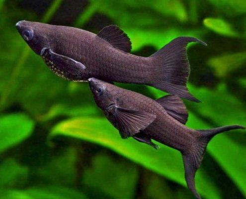 Siyah Moli
