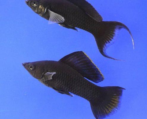 Siyah Moli Resimleri