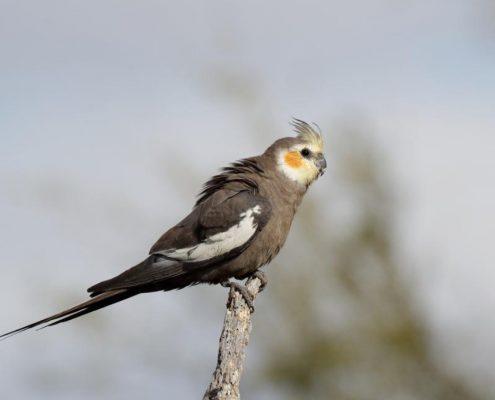 Sultan Papağanı Fotoğrafları
