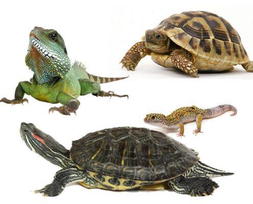 Sürüngen (Kaplumbağa, İguana, Kertenkele) Yaşı Hesaplama