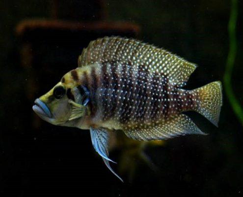 Calvus balığı