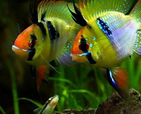 Ramirezi Balığı Resimleri