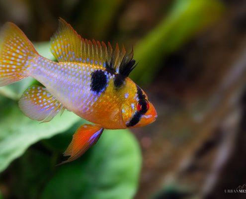 Ramirezi Balığı Fotoğrafları