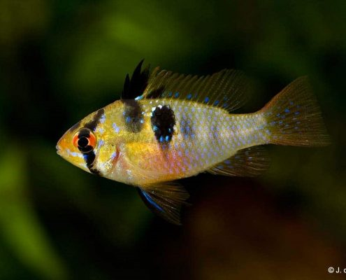 Ramirezi Balığı