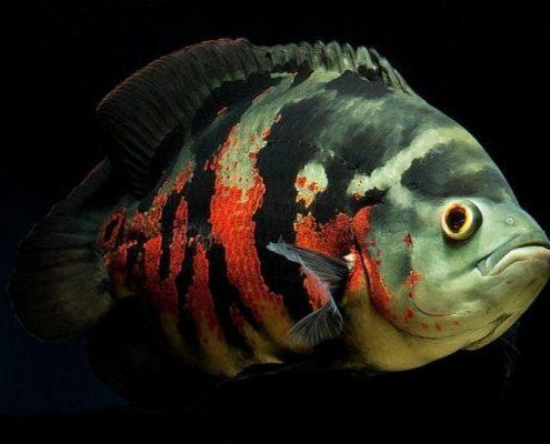 Astronot Balığı