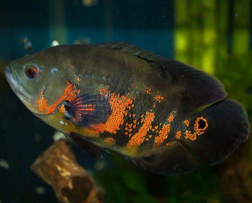 Astronot Balığı Resimleri