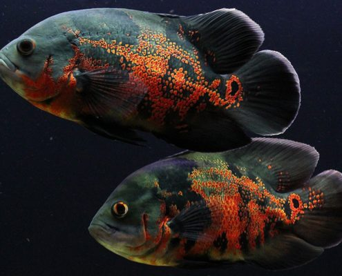 Oscar Balığı Resimleri