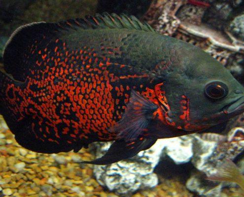 Oscar Balığı