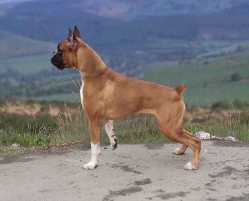 Boxer Fotoğrafları