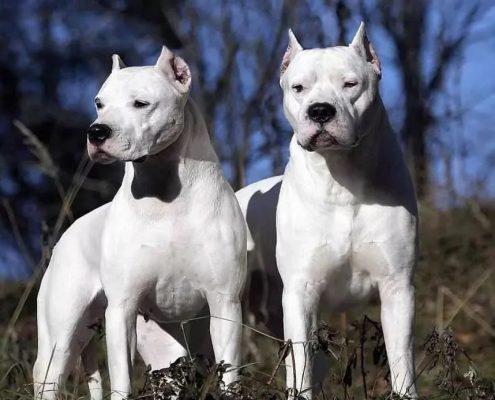 Dogo Arjantinler