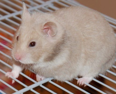 Hamster Bakımı