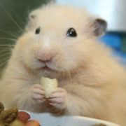 Hamster Beslenmesi
