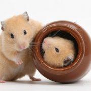Hamster Cinsiyet Ayrımı