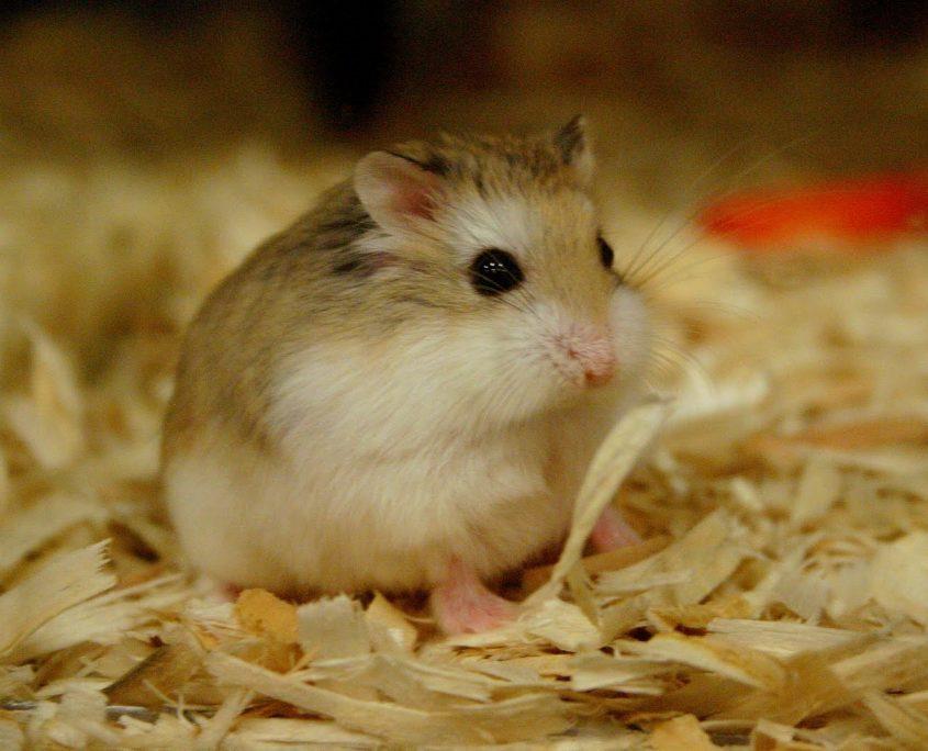 Hamster Eğitimi Nasıl Verilir?