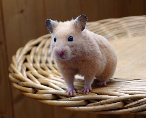 Hamster Hastalıkları ve Tedavi Yöntemleri