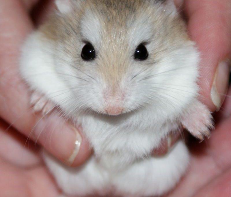 Hamster Kafesi Nasıl Olmalıdır?