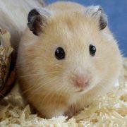 Hamsterlar Hakkında Temel Bilgiler
