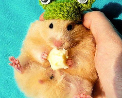 Hamsterlarda Hamilelik ve Doğum
