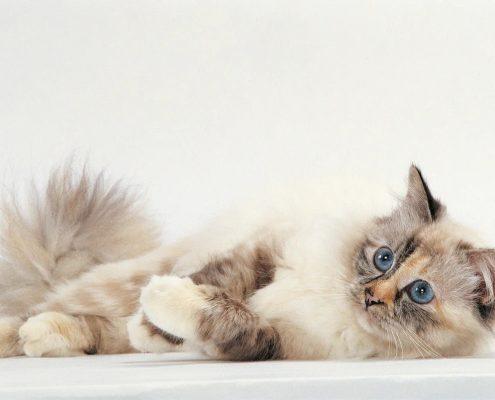 Keşmir Kedisi Fotoğrafları