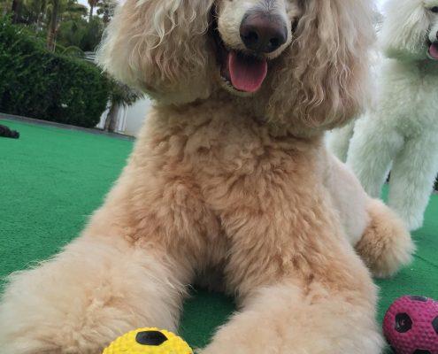 Poodle (Kaniş)
