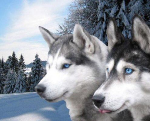 Husky Fotoğrafları