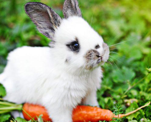 Tavşan Resimleri