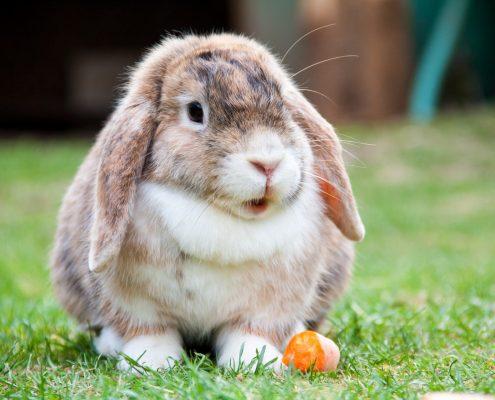 Tavşan