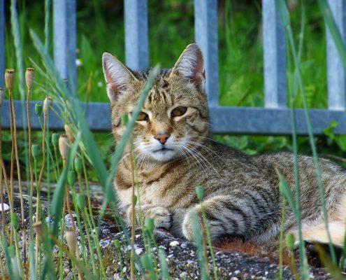 Tekir Kedi Resimleri