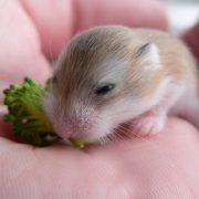 Yavru Hamster Bakımı ve Beslenmesi