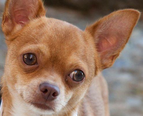 Çivava (Chihuahua)