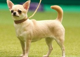 Chihuahua Resimleri