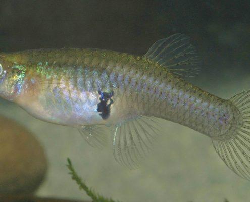 Sivrisinek Balığı