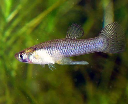 Sivrisinek Balığı Resimleri